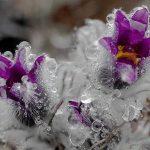 Крымский первоцвет — Сон-трава