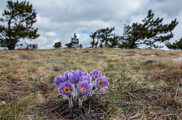 Весенние цветы на Ай-Петри. Апрель, 2013.