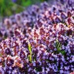 Цветёт чабрец — трава Богородицы