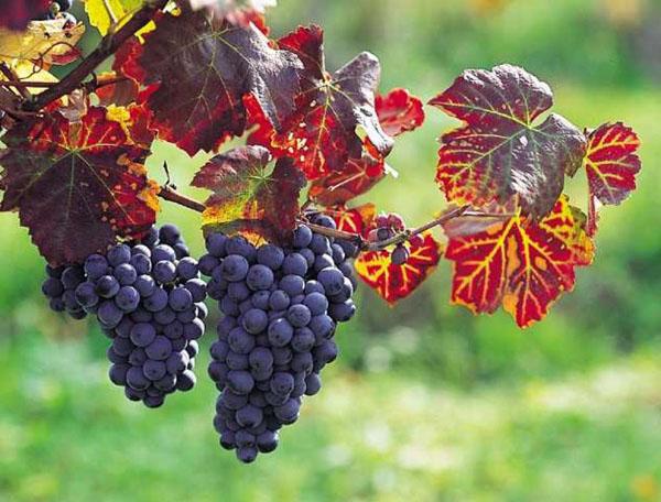 Areni-vinograd