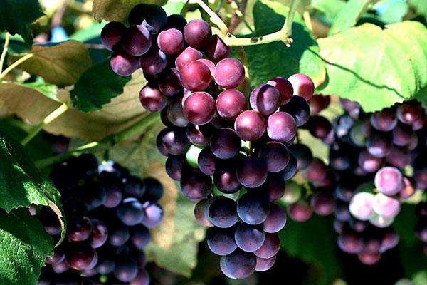 Vitis-vinifera-1