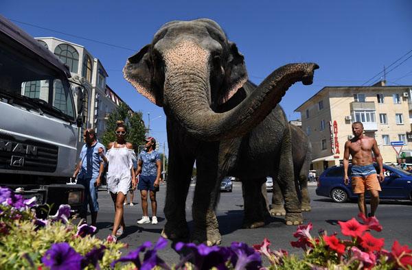 Выгул и купание цирковых слонов в Евпатории