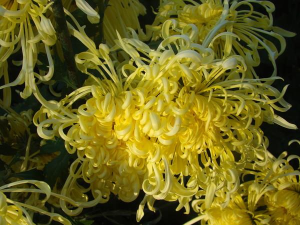 1-хризантема-в кудряшках