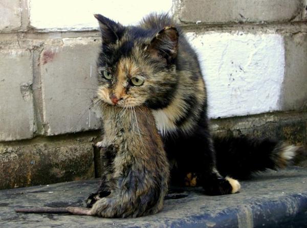 кошка-с-крысой