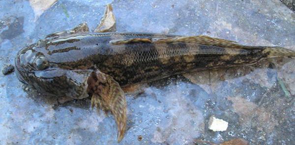 рыб-бычок-bychok1