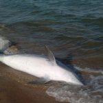 Почему гибнут дельфины в Чёрном море?