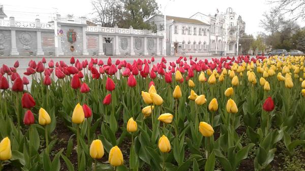 тюльпаны--