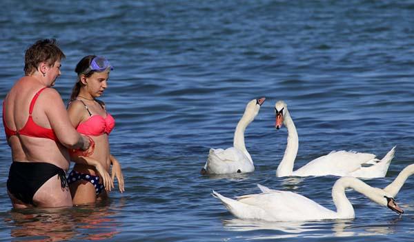 0-лебеди--