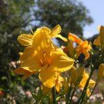В Никитском ботаническом саду расцвёл лилейник