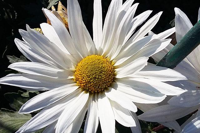 00-сиренево-белая хризантема