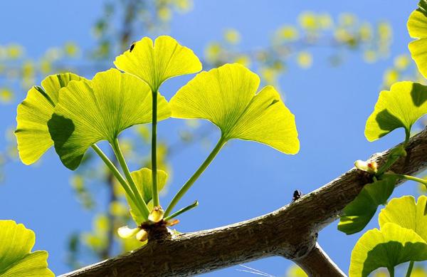 гинго-листья