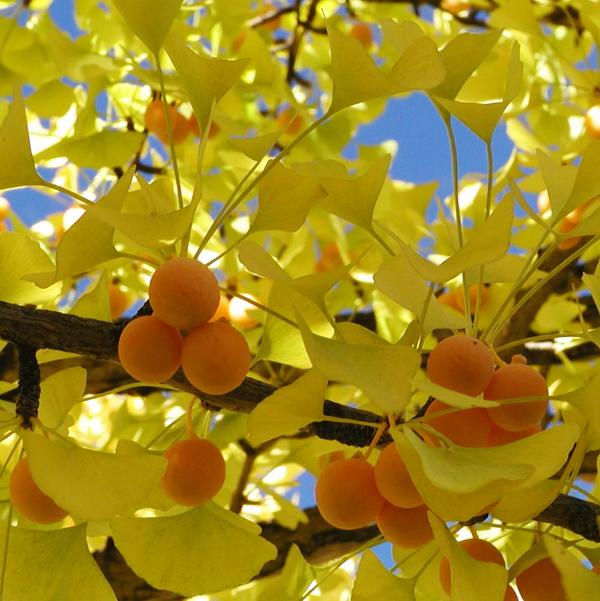 гинго-ягоды-осень
