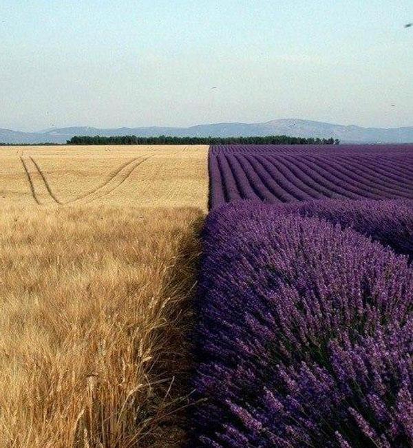 лаванда-пшеница
