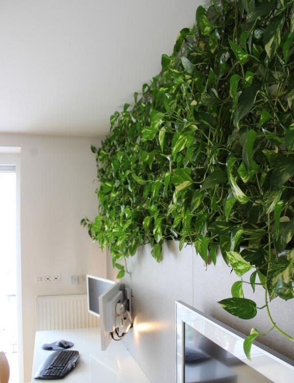 1-Вечно зеленая комнатная лиана