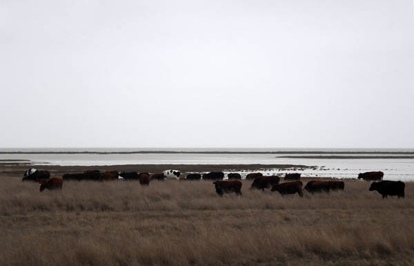 стада коров