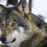 В Крыму волки задрали стадо коз