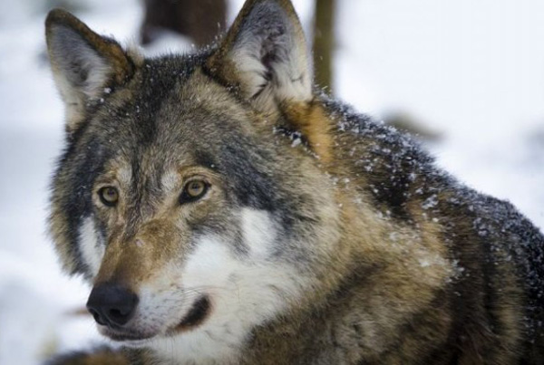 волки-v-krymu--zadrali-stado-koz-
