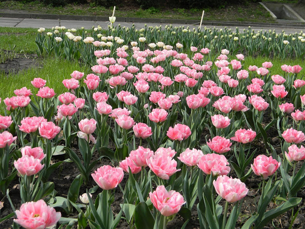 тюльпаны-9