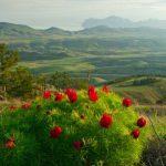 В Крыму зацвели дикие пионы таврические