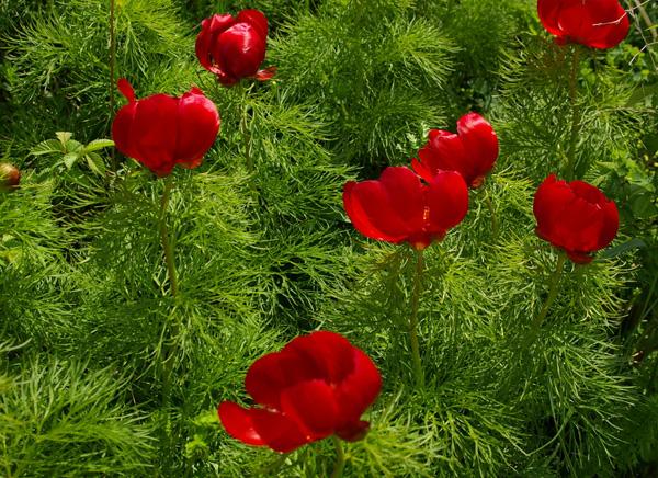 пион тонколистный=Paeonia tenuifolia L.).