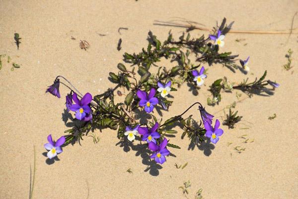 пляж-дик-цветы