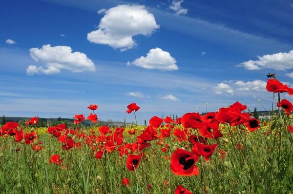 маки-poppy-field