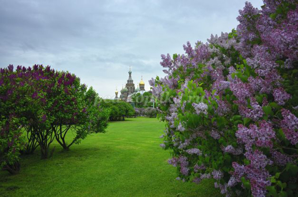 сиреневый сад вблизи станции метро Сокол