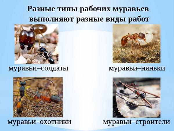 типы-муравьёв