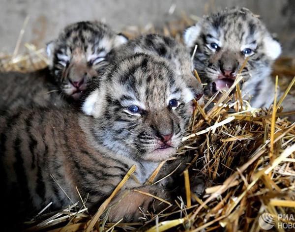 тигрята-12 июнь