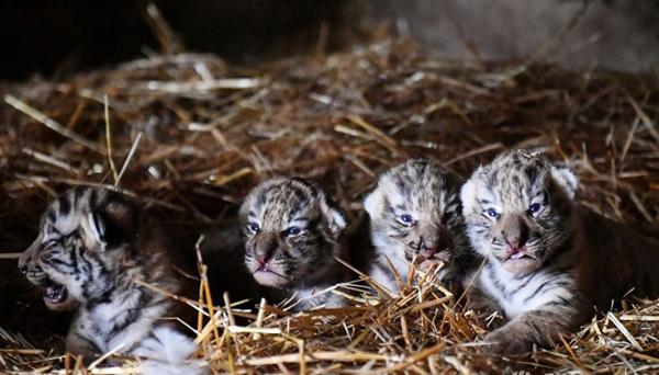 тигрята 12 июняя