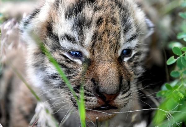 тигрята-12