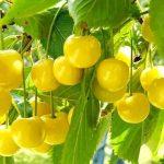 В Крыму собрали 39 тонн черешни, но цены на ягоду, как в Москве