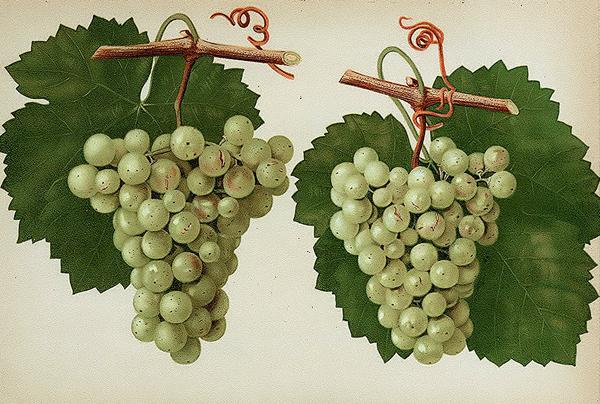 Сорт винограда рислинг, из которого княгиня Голицына делала вина. 19 век