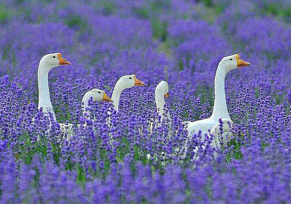 лаванда-Белые гуси в лавандовом раю