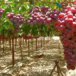 Княгиня Галицына и виноделие в Крыму