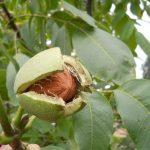 Поспели грецкие орехи в Крыму