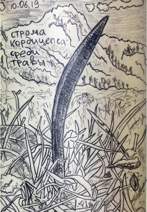 """""""Строма кордицепса, торчащая из травы"""". Рисунок Михаила Вишневского."""