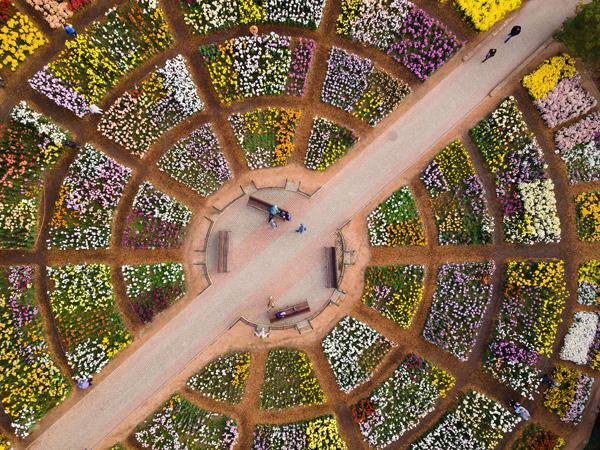 1-хризантемы1