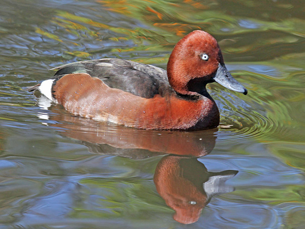ВОДН.птица-белоглазый нырокAythya nyroca-
