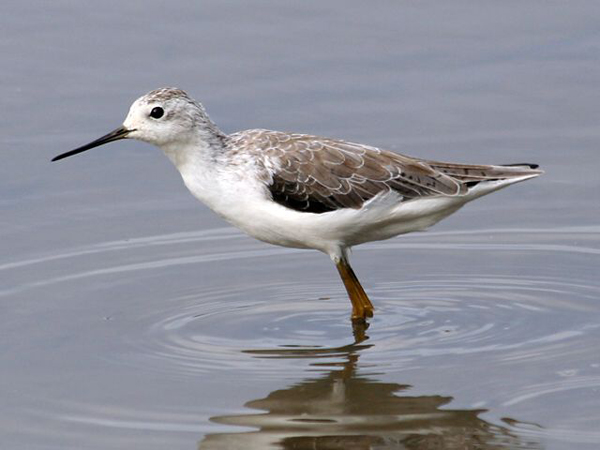 ВОДН.птица-поручейник-Tringa stagnatilis-