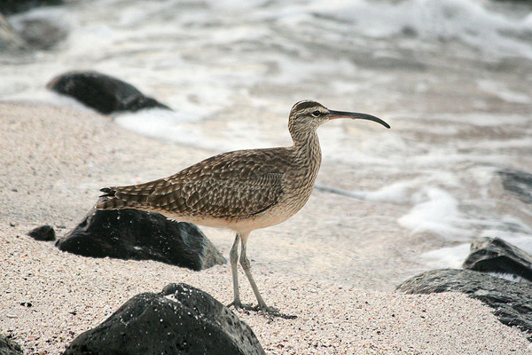 ВОДН.птица-средний кроншнеп-Numenius phaeopus-