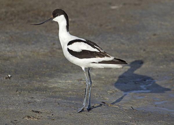 ВОДН.птица-шилоклювка-Recurvirostra avosetta-