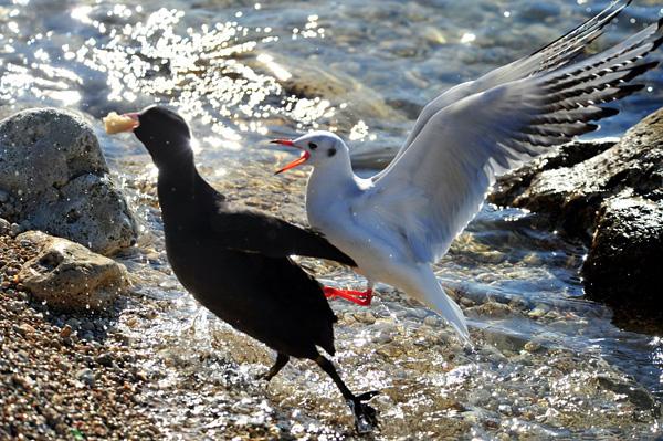 ВОДН.чайка и нырок