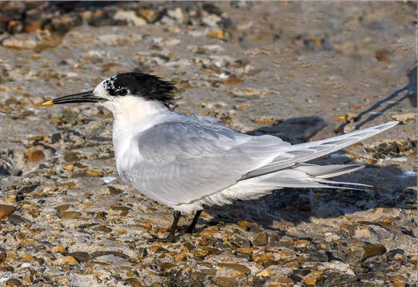 водн-чайконосая крачка-Thalasseus sandvicensis