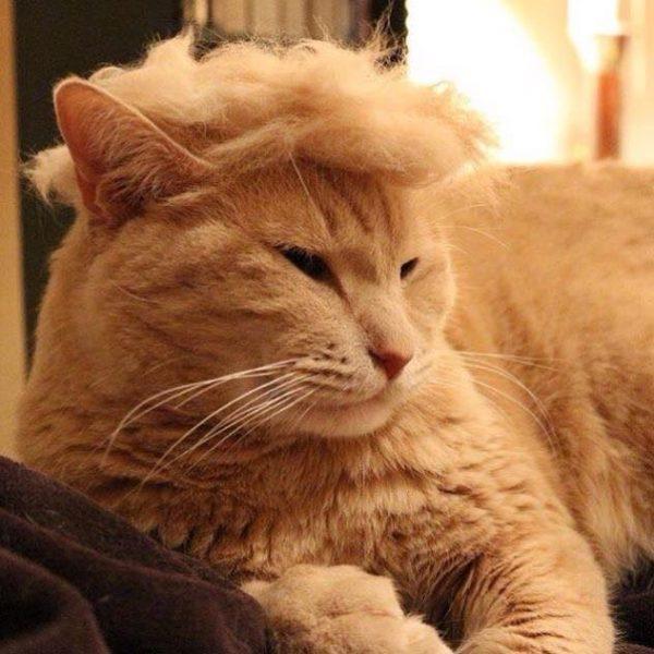 трамп-кот