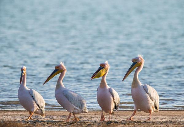 0-пеликан розовый