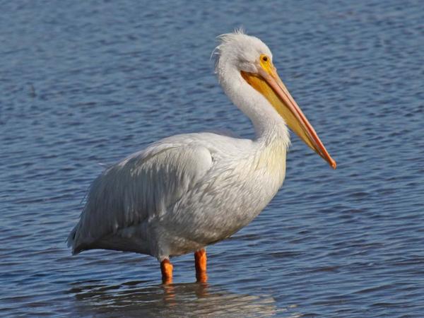 0-пеликан