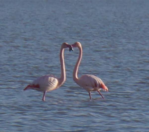 0-фламинго1