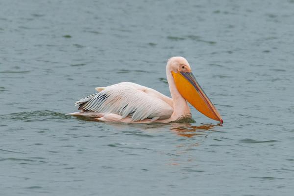 00-наш пеликан