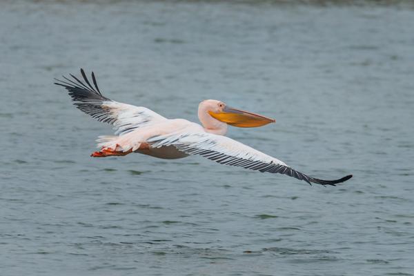 00-пеликан-наш